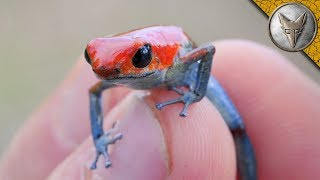 Download Catching a DEADLY Frog?! Video