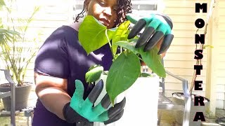 Download Monstera Repotting Day | Hirt's Gardens Monstera plant from Amazon Video