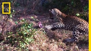 Download Leopards vs. Python Snake | National Geographic Video
