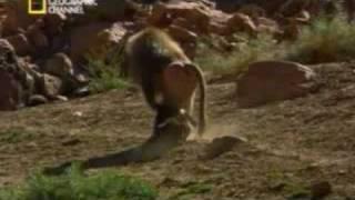 Download Primates Secuestradores de Perros Video