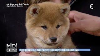 Download Shiba Inu : rencontre avec une éleveuse de chiens japonais Video