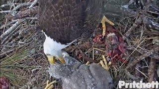 Download SWFL Eagles ~ Harriet pulls fish out of E8's throat!! 2.25.16 Video
