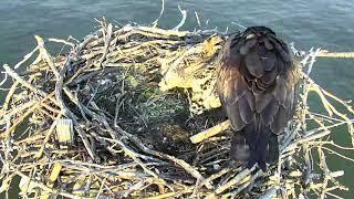 Download Osprey Nest - Chesapeake Conservancy Cam 06-17-2018 16:07:23 - 17:07:24 Video
