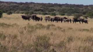 Download Blue Wildebeest hunt mai 2013 in South Africa Video