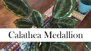 Download Calathea Medallion: Addy's Tips for Beginners Video