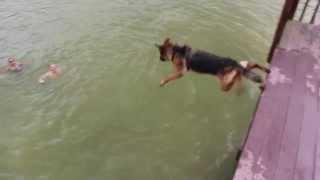 Download Harley the German Shepherd Diving off Dock - Dog Jumping off Dock Video