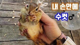 Download [다람쥐 암수 구별법에서 편집된 영상] 내 손안의 수컷 다람쥐 -만추편- Video