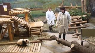 Download Toronto Zoo Giant Panda Cubs - Jia Panpan and Jia Yueyue 5 Months Old! Video