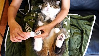 Download 肉球の間の毛をカットされるねこ。-Maru's paw's fur is trimmed.- Video