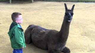 Download Llama spits in kid's face Video