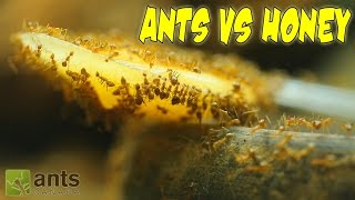 Download ANTS VS. HONEY | An Update on My Ant Colonies Video