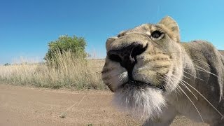 Download How To Guess A Lion's Age? #AskMeg | The Lion Whisperer Video