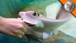 Download Stingray Feeding Time! Video