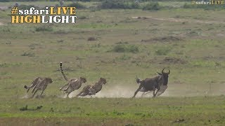 Download Five male cheetah race to the sound of the dinner bell Video