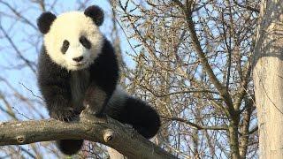Download Panda-Zwillinge im Tiergarten Schönbrunn Frühling 2017 Video