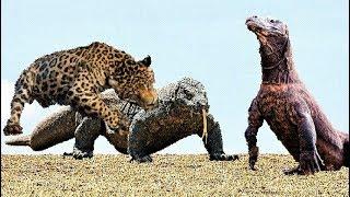 Download 배고픈 표범 VS 거대한 도마뱀 Video