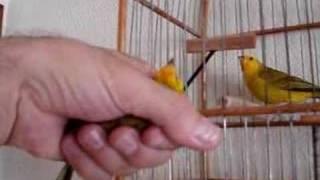 Download Canário da Terra KORINGA Video