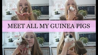 Download MEET MY GUINEA PIGS - ALL 4 | Imy'sAnimals Video