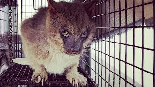 Download Abandoned Werewolf Cat Rescued from Life of Pain Video