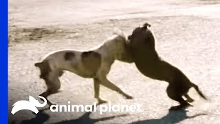 Download A Dog Fight Leaves Joe in Shock | Pit Bulls and Parolees Video