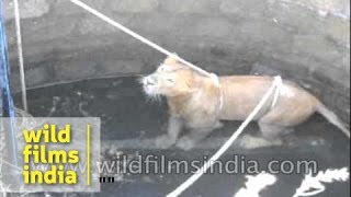 Download Endangered Asiatic Lion rescued from well in India Video
