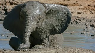 Download Baby Elephant takes her First Bath | BBC Earth Video