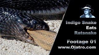 Download Indigo Snake Eats Rat Snake 01 Stock Footage Video