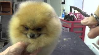 Download Grooming the Show Pomeranian (part three) Video