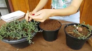 Download Colar de Golfinhos:como fazer mudas e aumentar o vaso mais rápido! #Suculenta Video