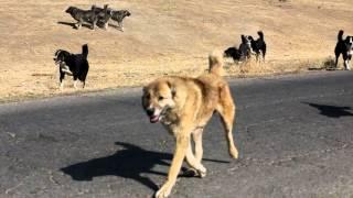 Download A fight between Tajik shepherd dogs Video