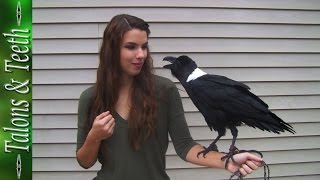Download Ravens can talk! Video