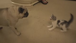 Download PUG MEETS NEW KITTEN FOR THE FIRST TIME!! Video