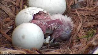 Download First Red-Tailed Hawk Chick Almost Hatched – April 23, 2018 Video