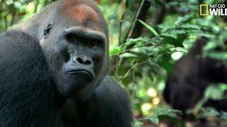 Download Tensions familiales chez les gorilles Video