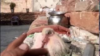 Download Kabooter Ke Bache Palne Ka Asan Tareeka By Aman Prabhakar Video