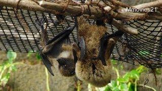 Download 餌を食べるオリイオオコウモリ Video