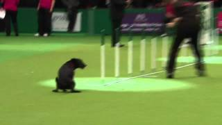 Download Dog show fail: Crufts pooch has an 'accident' in the arena Video