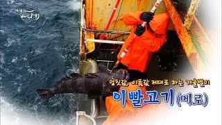 Download 덩칫값 제대로하는 이빨고기(메로)!!メロ[어영차바다야] Video