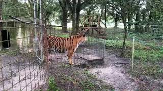 Download Priya Tiger gets a new home enclosure! Video