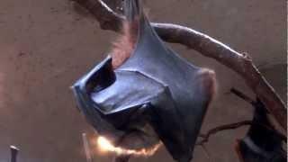 Download 上野動物園 コウモリの羽つくろい Video