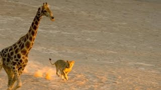 Download Incredible: Five Lions Take Down a Giraffe Video