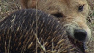 Download Meet the Echidna, an Incredible, Fire-Proof Spiny Anteater Video