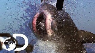 Download The Most Epic Shark Week Moments!   Shark Week's 50 Best Bites   SHARK WEEK 2018 Video