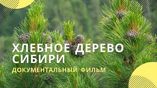 Download Фильм ″Хлебное дерево Сибири″ Video