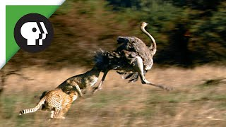 Download Cheetahs Chasing Ostrich Video