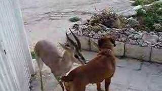 Download The deer and the dog Video