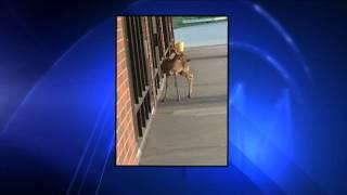 Download Rabid Deer Attacks Woman Video