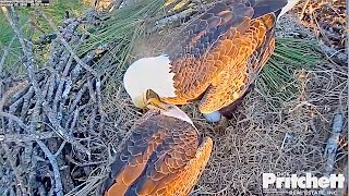 Download SWFLEagles~Harriet's First Egg Season 5, 5:03pm; Dad's Precious First Visual & Roll ~ 11-22-16 Video