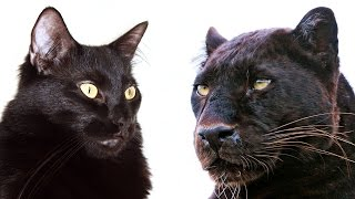 Download 10 Ways Domestic Cats and Big Cats Are Similar Video