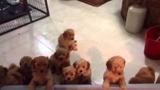 Download Joystar apricot miniature poodle puppies Video